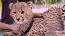 Raúl quedó impresionado con la mirada y belleza de dos cachorros de guepardo que están en peligro de extinción