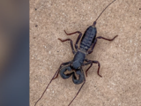 Detectan especie de araña que 'dispara vinagre por su cola' en un parque de Texas