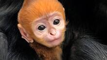 El zoológico de Filadelfia da la bienvenida al primer bebé langur y es adorable