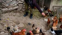 Ahora es posible que críes gallinas en el patio de tu casa si vives en Plano: esto es lo que debes saber
