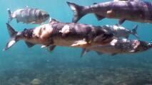 Impresionantes imágenes de las lesiones que sufrieron salmones en un río tras una ola de calor