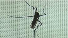 Autoridades de salud alertan a la región de Sacramento por la aparición de mosquitos invasores