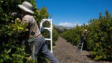 La pandemia y sus efectos en la industria agrícola que sostiene a miles de trabajadores del campo en California