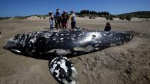 Suman cinco ballenas muertas en el último mes en el Área de la Bahía