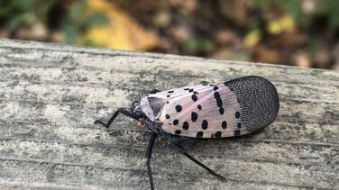 Piden a residentes de Nueva Jersey acabar con insecto invasivo que podría causar pérdidas millonarias a la agricultura
