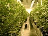 La marihuana recreativa es legal en Arizona desde este 30 de noviembre, esto es lo que debes saber