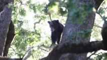 Oso grizzly trepa a un árbol y sorprende a dueños de una vivienda en el Área de la Bahía