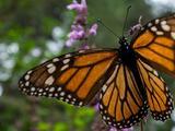 Eligen a Bakersfield como refugio y descanso para las mariposas monarca