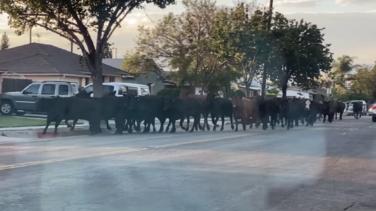 Encuentran a la última vaca que había escapado de planta procesadora de carne de Pico Rivera