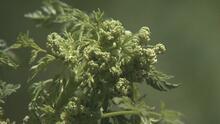 Una planta venenosa dispara las alarmas en EEUU, invadiendo campos y pastos en varios estados